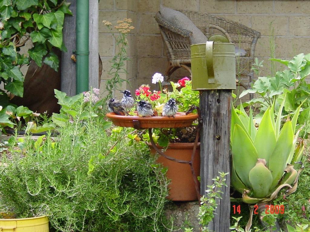 Birds - New Hollands in the Bird Bath